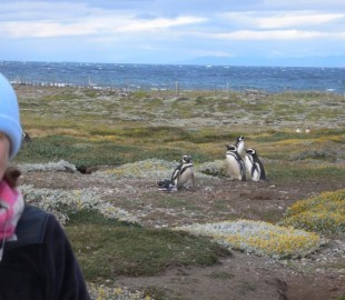 NCL South American Cruise - Magellanic Penguins on Ottaway Sound - Spectacular