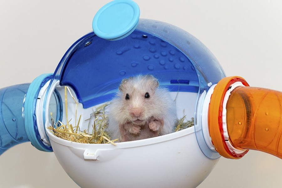 Here's a hamster enjoying the views from his very own North Star!