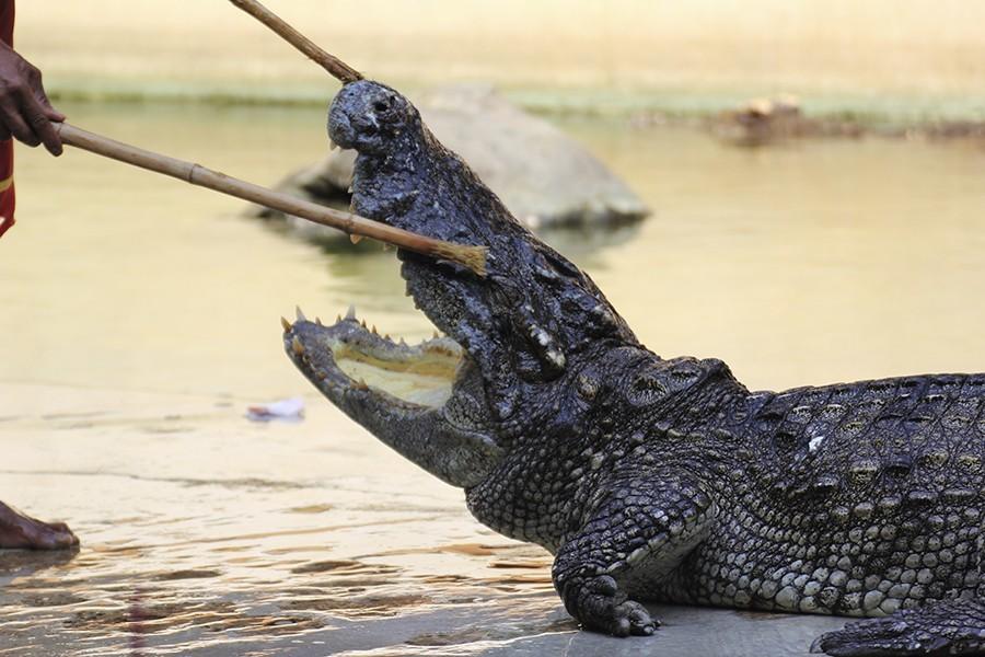 Aligator wrestling