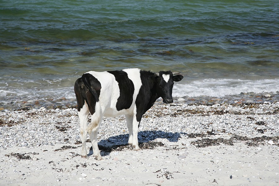 ships cow