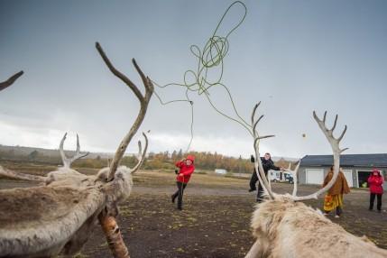 round up reindeer