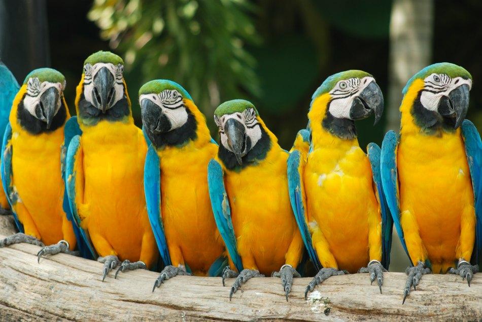 tenerife parrots