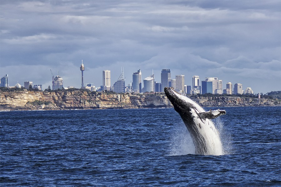 Humpback whale and Sydney skyline