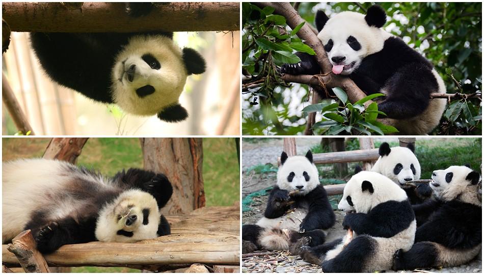 chendgu pandas