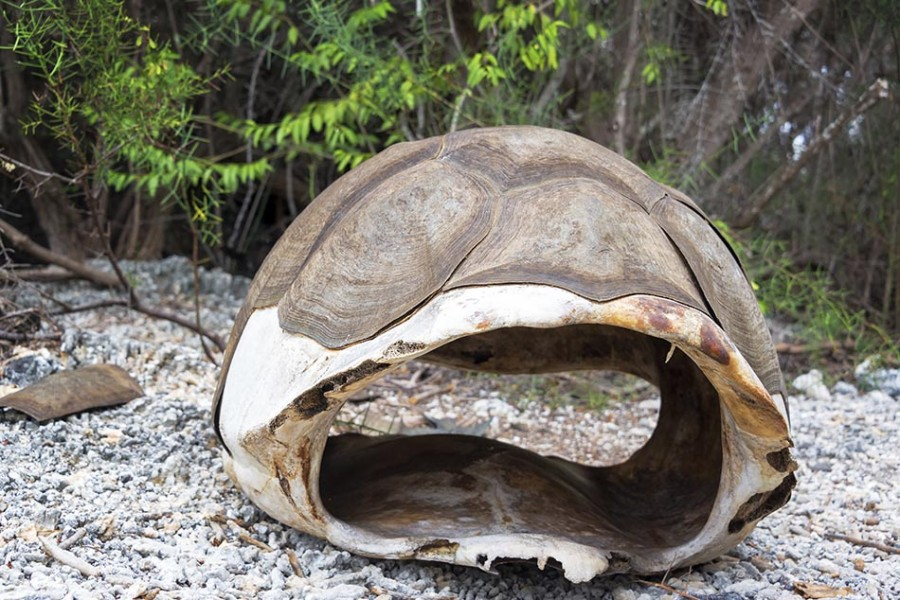 Shell of Dead Giant Tortoise in Galapagos
