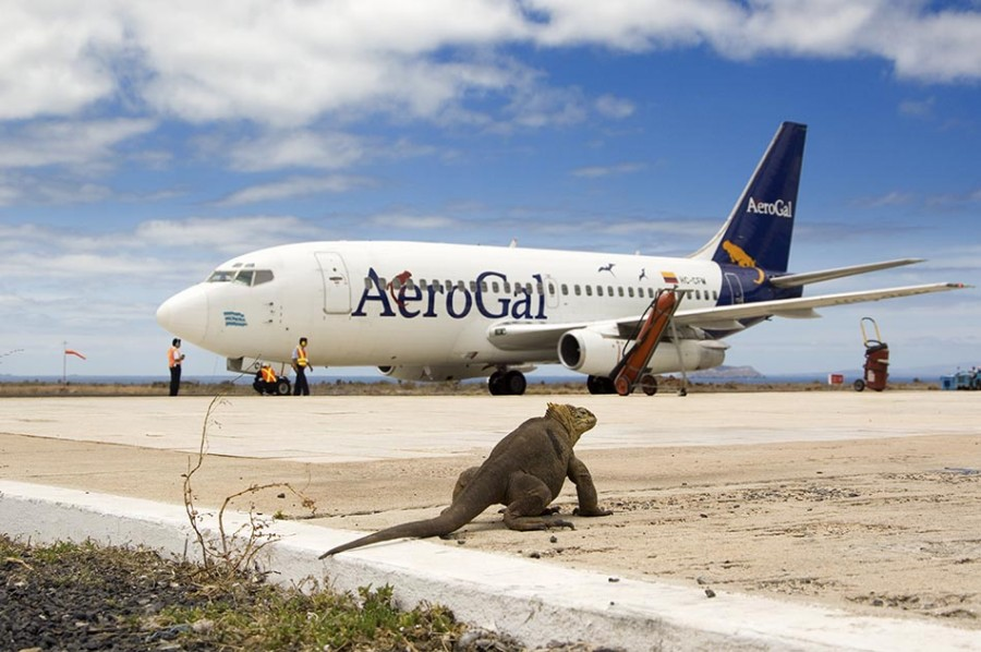 Land Iguana on airport