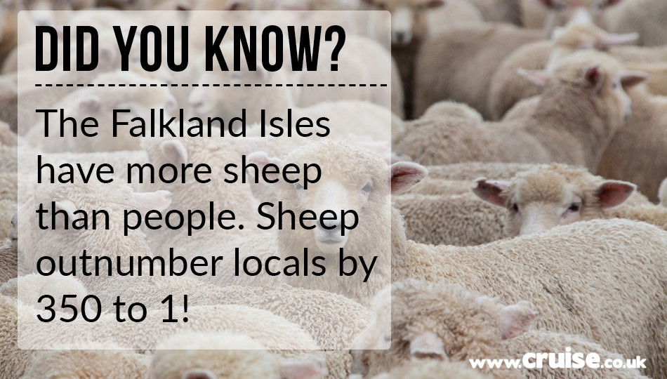 The Falkland Isles have more sheep than people! Sheep outnumber locals by 350 to 1!