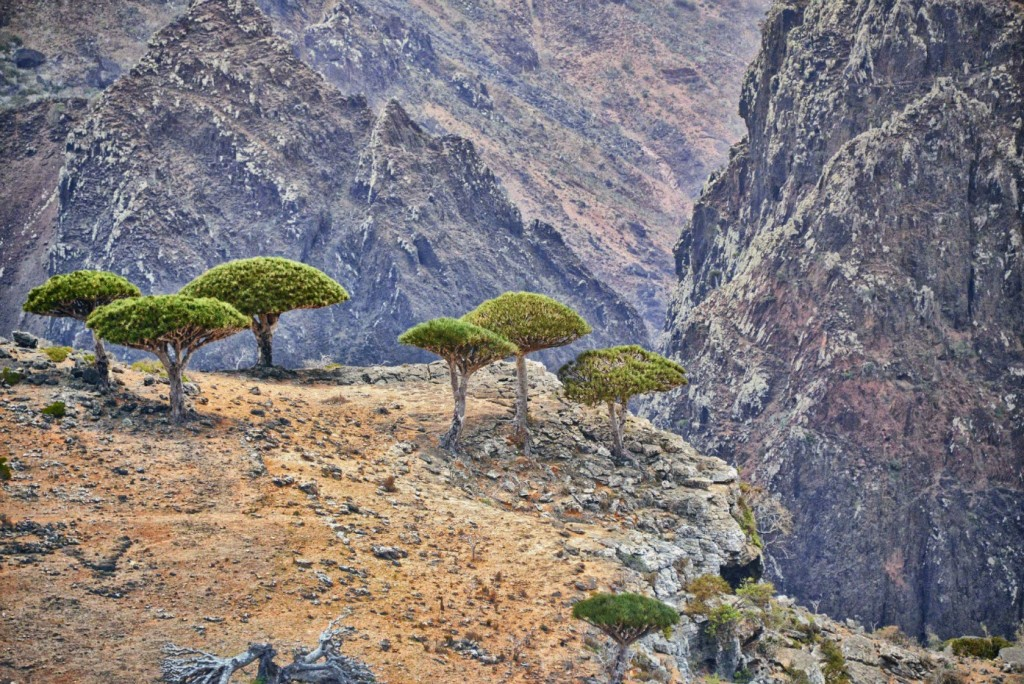 Dragon Tree On A Cliff