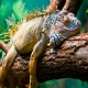 Lazy Iguana lying along the branch