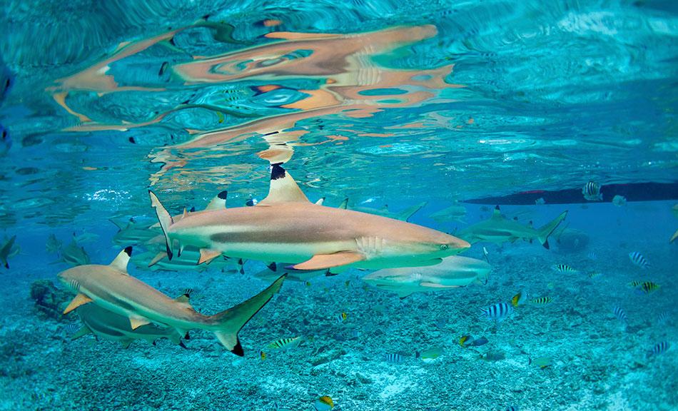 bora bora sharks