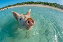 caribbean pig
