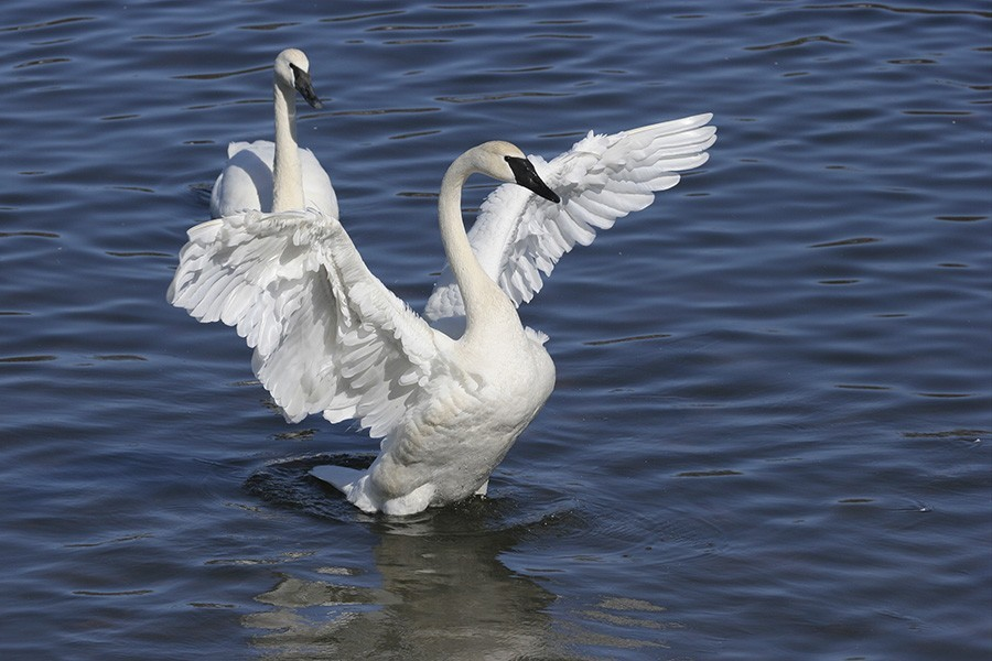 Trumpeter Swan with Wings Spread