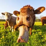 The Moment A Cruiser Complains After Her Cabin View Was 'Blocked By A Cow'!