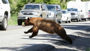 Brown bear trying to climb into a car