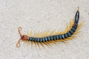 Scolopendra heros castaneiceps (colorful variety)