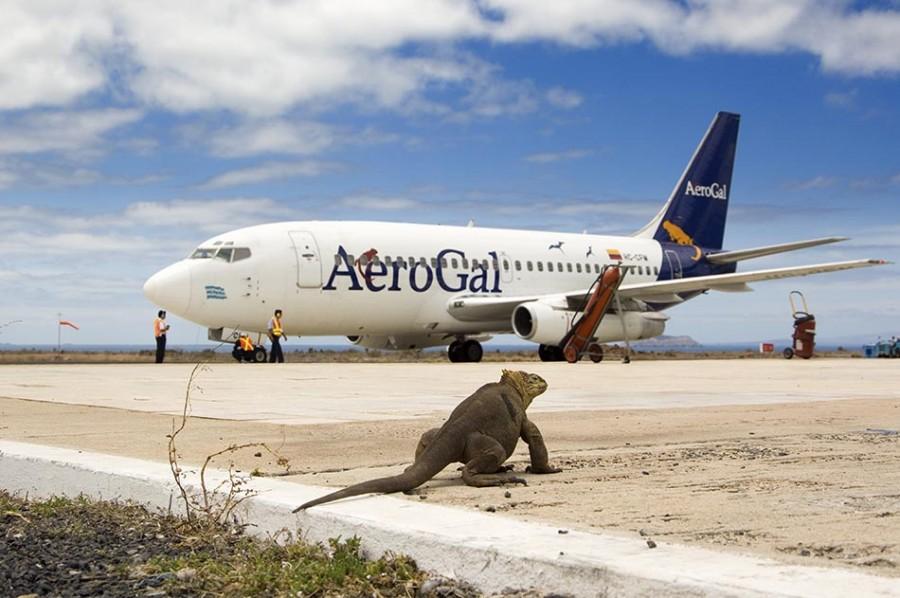 Land Iguana on airport