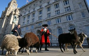 cunard herd sheep