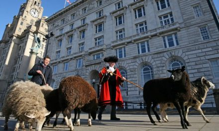 Cunard Seen Herding Sheep Through Liverpool City Centre (No – Seriously!)