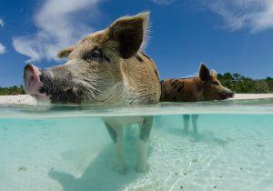 caribbean pig beach