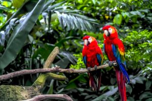parrots in amazon rainforest