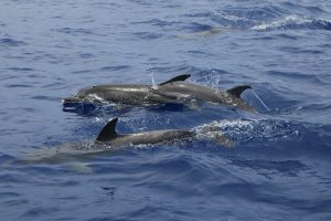 Whale and Dolphin watching in Funchal