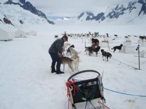 Alaska-Huskies