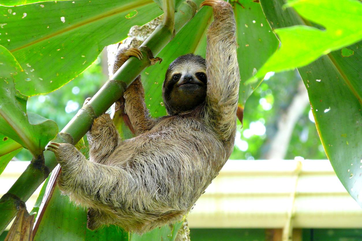 Local Sloth
